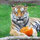 halloween-al-bioparco-anche-agli-animali-piacciono-le-zucche