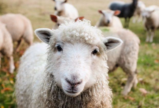 pochi-bambini-a-scuola-iscritte-15-pecore-per-evitare-la-chiusura-di-una-classe-(video)